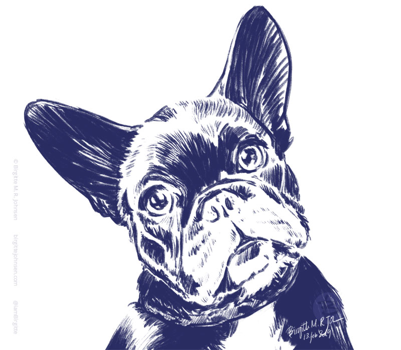 Portrait of Daphne the french bulldog.