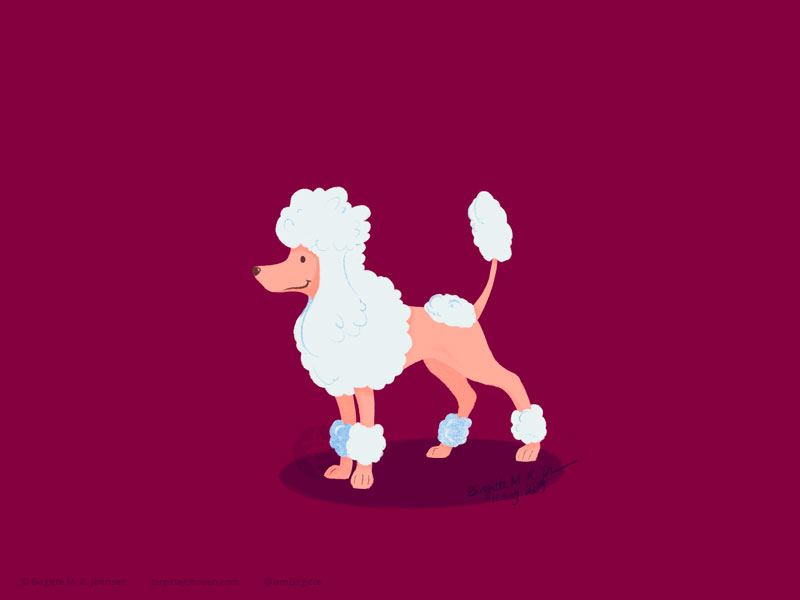 A white Miniature Poodle with a lion cut on a maroon background.