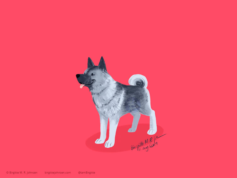 A happy Norwegian Elkhound on a pink background.