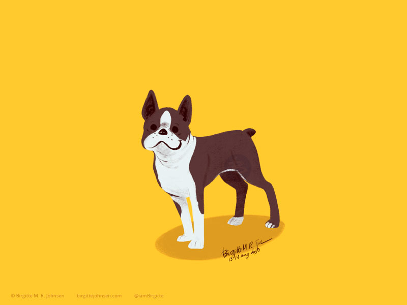 A happy little white and brown Boston Terrier on a yellow background.