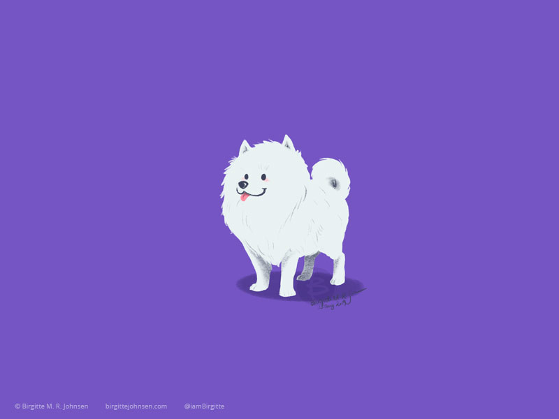 A white little Pomeranian standing out against its purple background.
