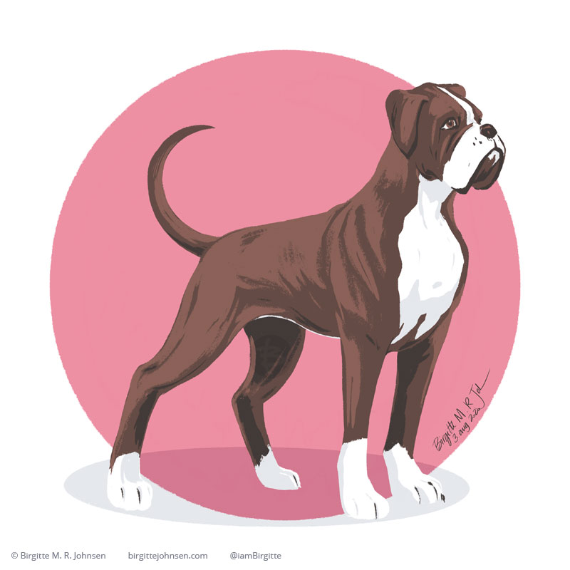 A focussed and well behaved boxer on a circular pink background.