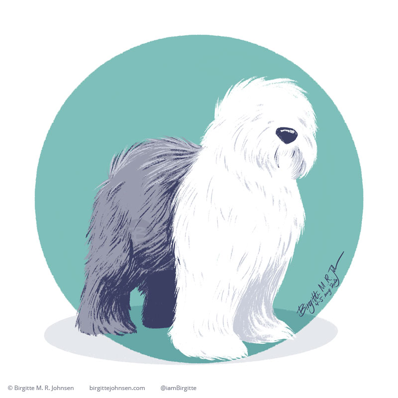 A fluffy Old English Sheepdog standing in front of a circular teal background.