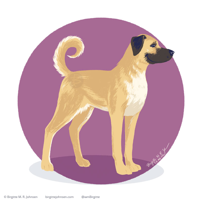 An Anatolian Shepherd, a tall yellow dog with a brown muzzle and ears, standing in front of a purple circular background.