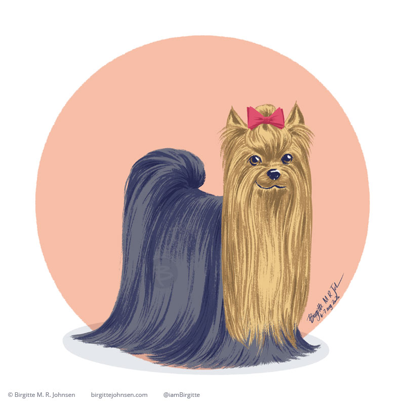 A Yorkshire Terrier with a long straight coat in front of a peach circular background.