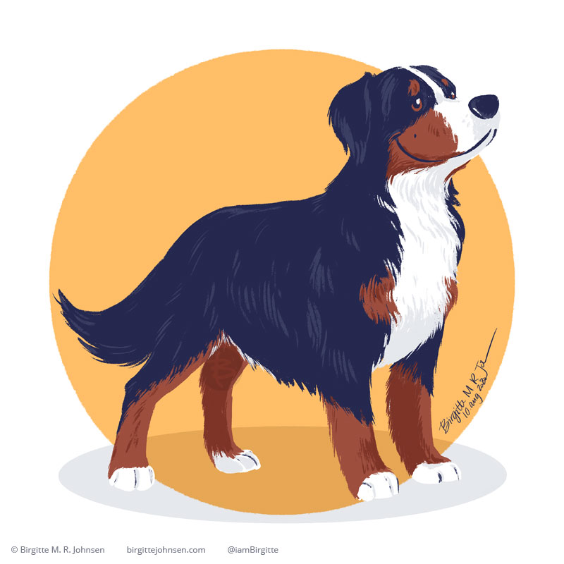 A proud Bernese Mountain Dog standing in front of a circular warm yellow background.