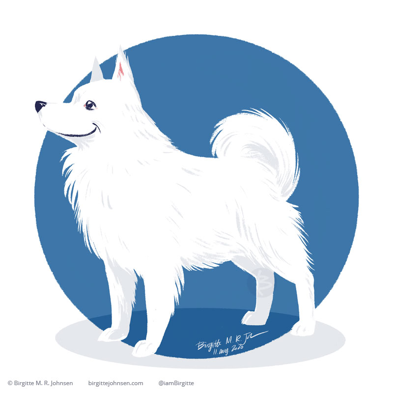 A happy American Eskimo Dog, which is white with its tail curled up over its back, is standing infant of blue circular background. Painted digitally with Procreate on an iPad.