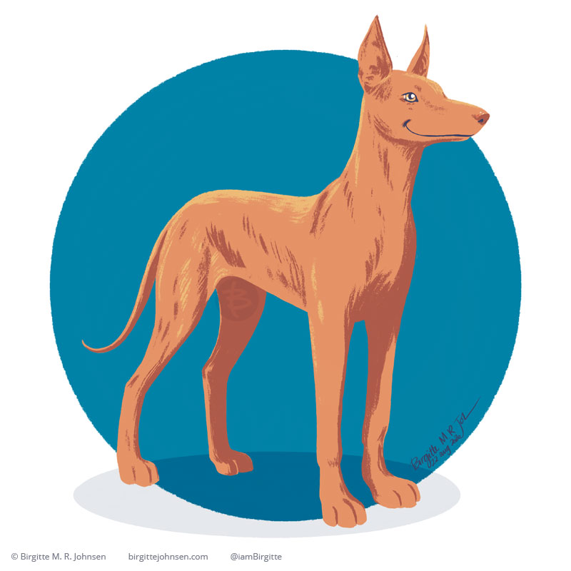 A Pharaoh Hound painted digitally in front of a blue circular background. The Pharaoh Hound is a sleek, long legged and relatively skinny dog, their coat is short and most commonly red, but can also move into tan or chestnut colours.